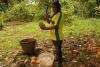 16 de rijpe cacaovrucht wordt open gekapt