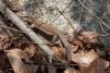 26 hagedis - zeer goede schutkleur - als hun gang niet zo'n ritseling zou veroorzaken zouden we ze niet of bijna niet opmerken