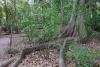 31 prachtige bomen met bovengronds wortelstelsel