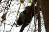 33 Mico Titi - Saquinus Oedipus - snelle aapjes boven onze hoofden