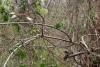 36 Mico Titi - Saquinus Oedipus - springen van tak naar tak