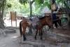 39 paarden voor het vervoer en in het park te huur voor de toeristen