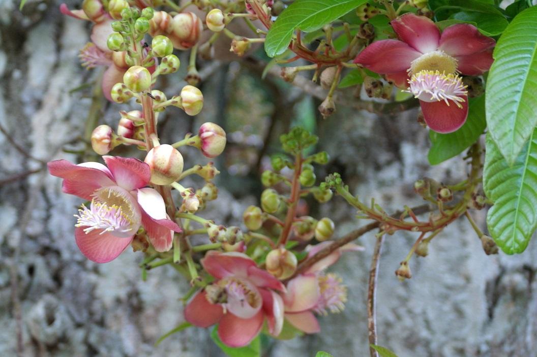 29 Parque Municipal Panama - dieren tuin - botanical garden. Bola de Canon - Canon ball tree - famila Lecy Thidaceae SAM_5244