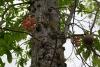 28 Parque Municipal Panama - dieren tuin - botanical garden. Bola de Canon - Canon ball tree - famila Lecy Thidaceae SAM_5238