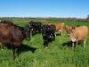 10 De Hollandse zwartbonte koei en Jerseys