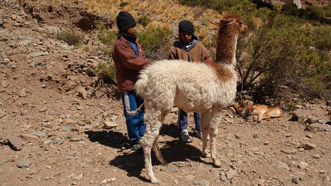 27 herdersjongetjes passen goed op hun Lama's