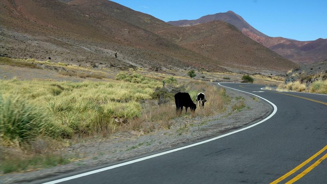 07 oppassen voor overstekende koeien