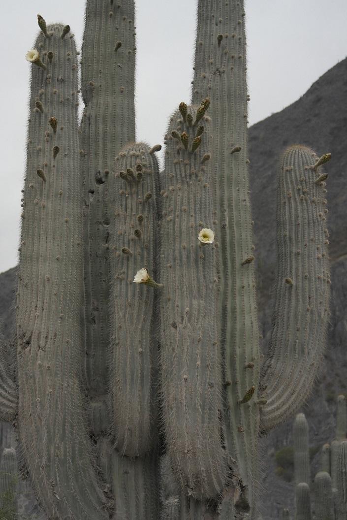 Voor het eerst zien we de kandelaarscactussen in bloei