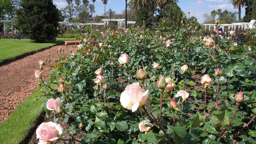 17 de eerste rozen in het vroege voorjaar, Johann Straus, Hibrida de Te, Meilland 1993