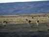 Lama's in de vroege ochtendzon