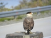 De Carancho común, een prachtige vogel rustig op de uitkijk bij de ingang van een parkeerplaats