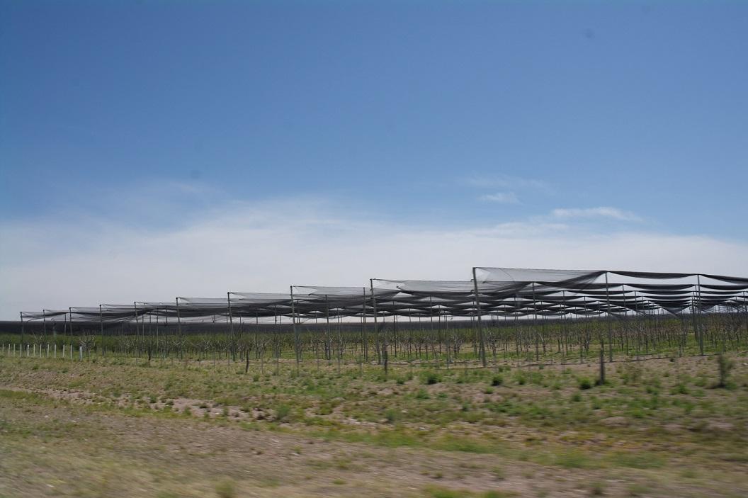 bescherming van de wijnranken tegen de zon en verdamping, in de buurt van San Rafael
