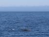 36 we zien in open zee, Pacific Ocean, een glimpje van dolfijnen, bruinvissen en een walvis