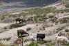 14 om ons heen op het Alto Plano grazen de Lama's