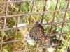 05 Queen Butterfly P1020320