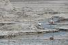 22 flamingo's tussen de zoutplaten van Salar de Atacama, ongeveer  40% van alle lithiumreserves van de wereld zou hier zijn opgeslagen