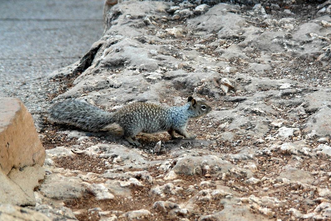 28 Alberts squirrel SAM_3421