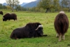 10 Musk Ox - in de weilanden rondom de Musk Ox Farm in Palmer SAM_1281