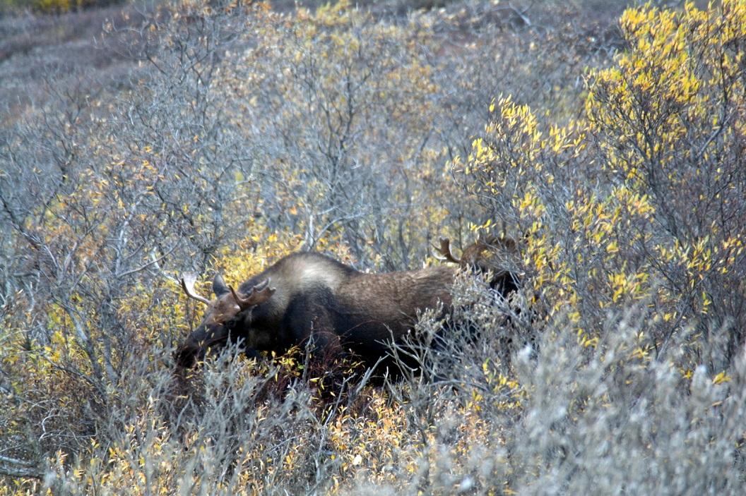 15 Moose in Denali National Park SAM_1201