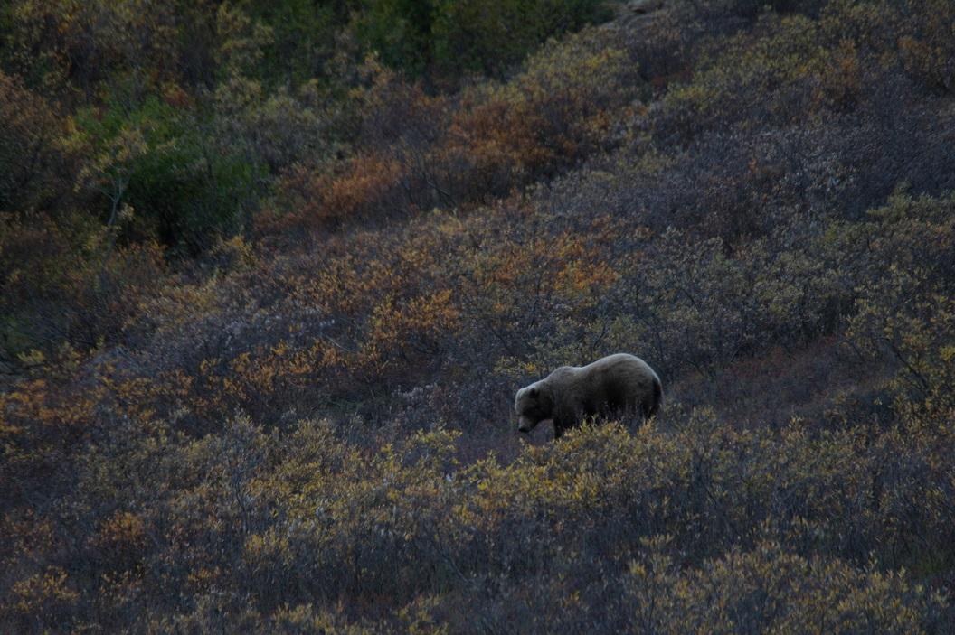 16 Grizzle bear in Denali National Park SAM_1230