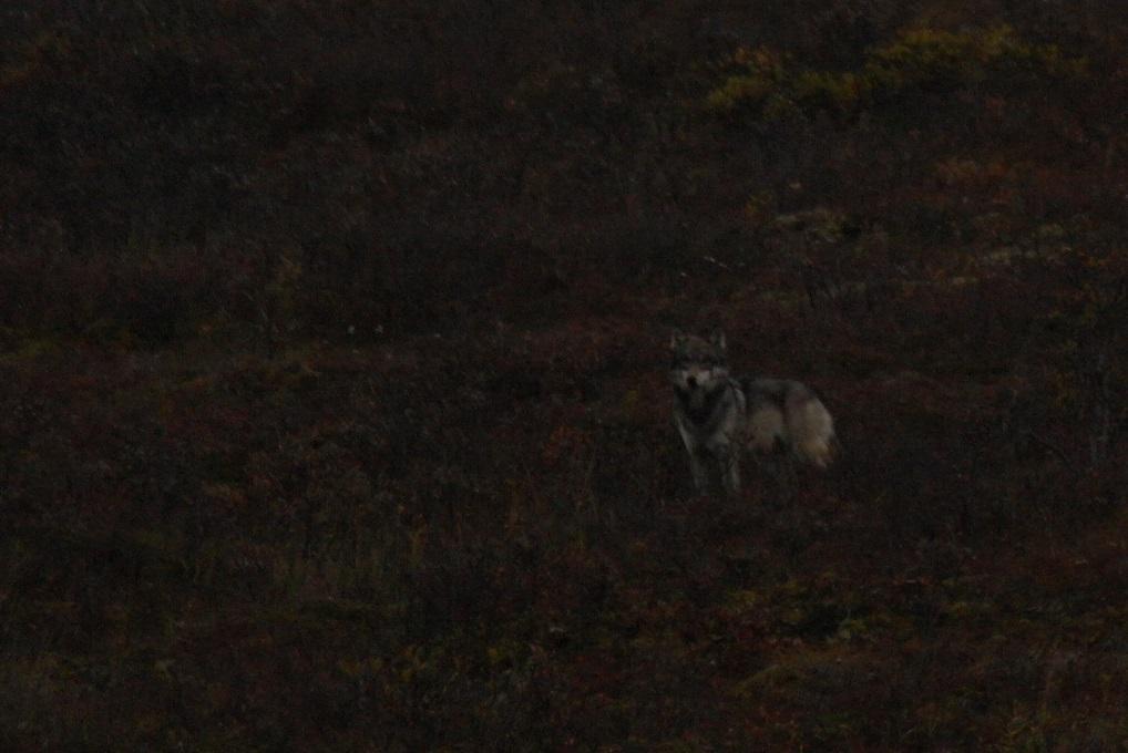 19 Wolf in Denali National Park SAM_1247