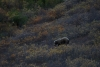 16 Grizzle bear in Denali National Park SAM_1230