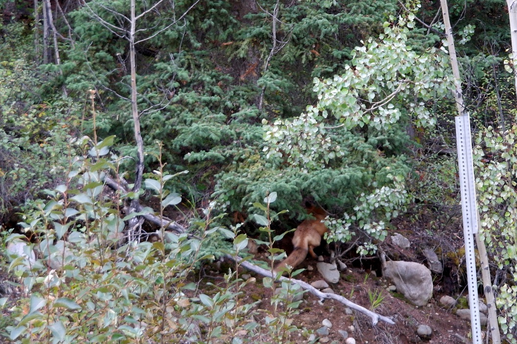 07 een vos verschuilt zich in de berm SAM_0656