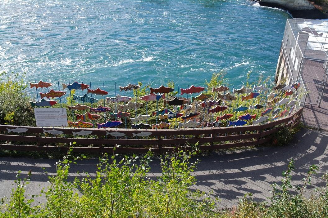 26 bezoek aan de Fish Ladder bij de Whitehorse Rapids Energie Dam and Fishway - de zalm vindt hierdoor haar weg SAM_0781