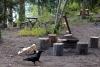 32 deze kraai zoekt haar weg op de Coalmine Campground SAM_0815