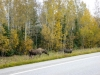 12 Moose ... aan de Alaska Highway, richting Fairbanks P1020983