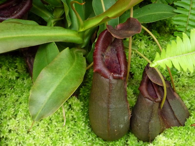 q28-monkey-cup-zijn-vleesetende-planten-prooi-meestal-insecten
