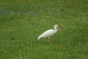 15 witte ibis