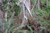 33 Strangler Fig - een boom die zich om een boom slingert en na verloop van tijd de plaats van die boom inneemt