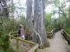 39 hoge bomen ! Big Cypress