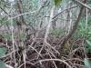 4 mangrove