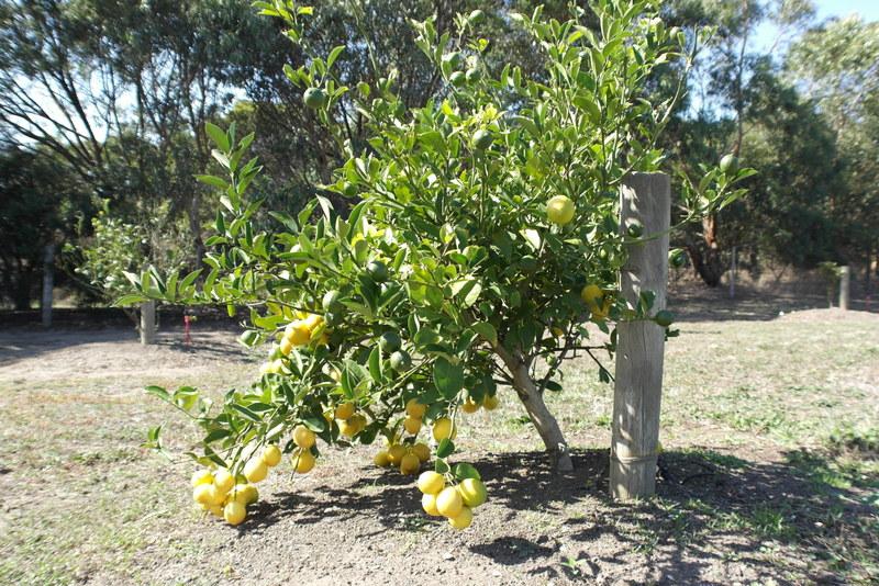 04-citroenen-in-de-tuin