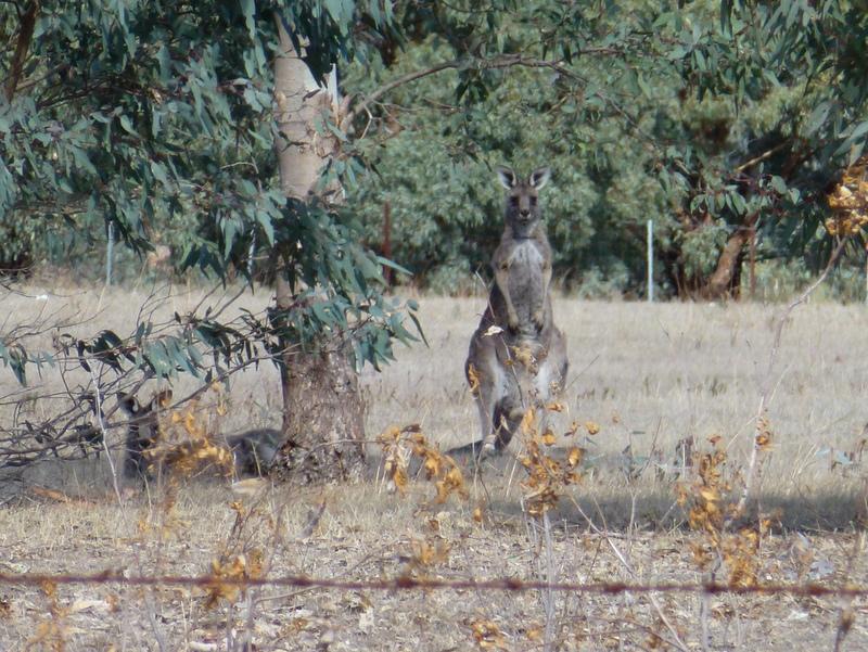 207-en-voor-ons-de-eerste-kangaroes