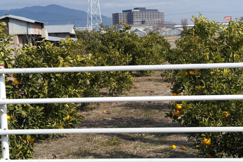 14-sinaasappel-boomgaard