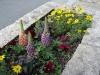 21-en-lupine-winter-in-japan-als-in-de-zomer-in-lheebroek