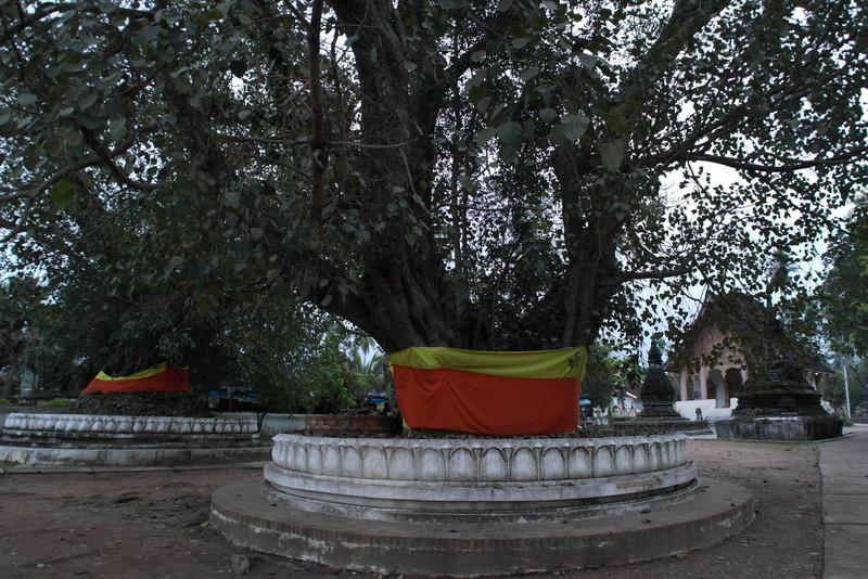 410-eeuwen-oude-bomen-in-lotus-geeerd-bij-de-ingang-bij-de-wat-aham-tempel