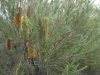 16-heath-banksia