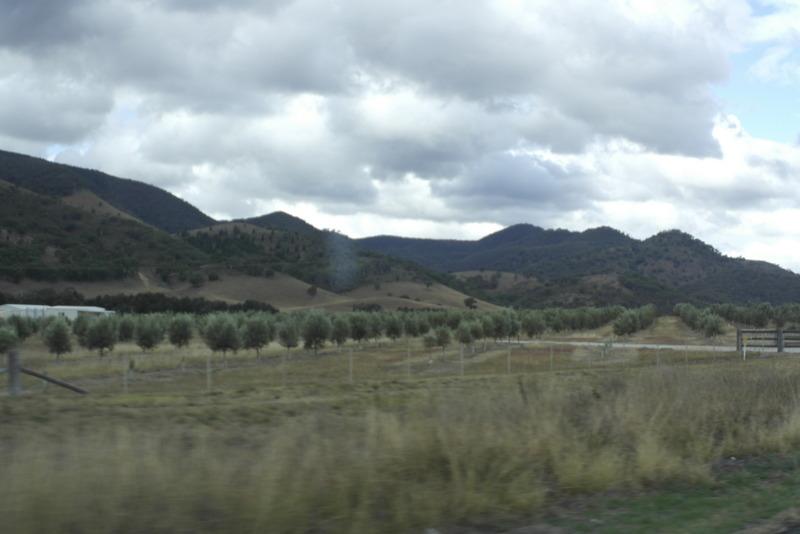 02-olijven-plantages-in-de-omgeving-van-mudgee