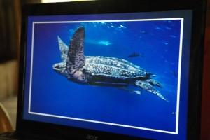 10 prehistorisch aandoende beelden, Leatherback de grootste van alle schildpadden kunnen een gewicht hebben van 540 kg. De grootste die wij zagen was 2,5 mt l SAM_5123