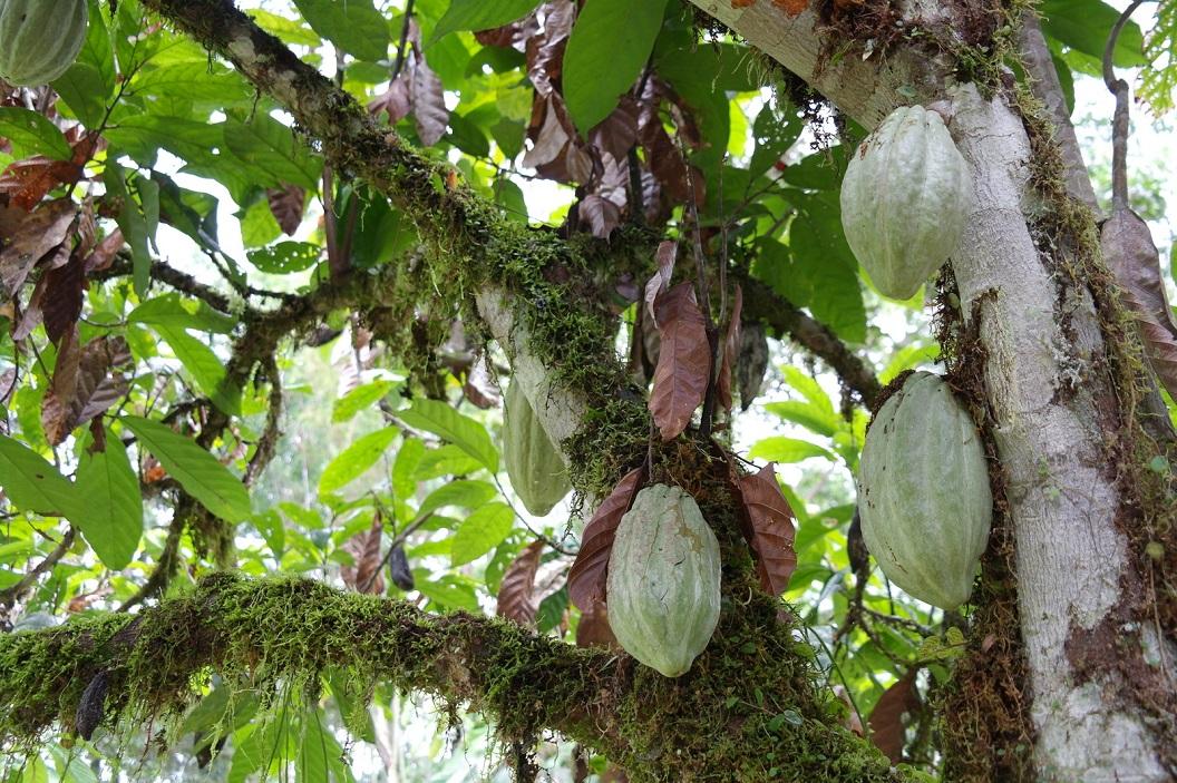 19 nog niet geheel rijpe cacaovrucht
