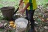 18 de cacaobonen worden met de hand uit de vrucht gehaald