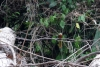 11 een bos vol vogel geluiden, in dichte begroeiing moeilijk laten zien - fotograferen