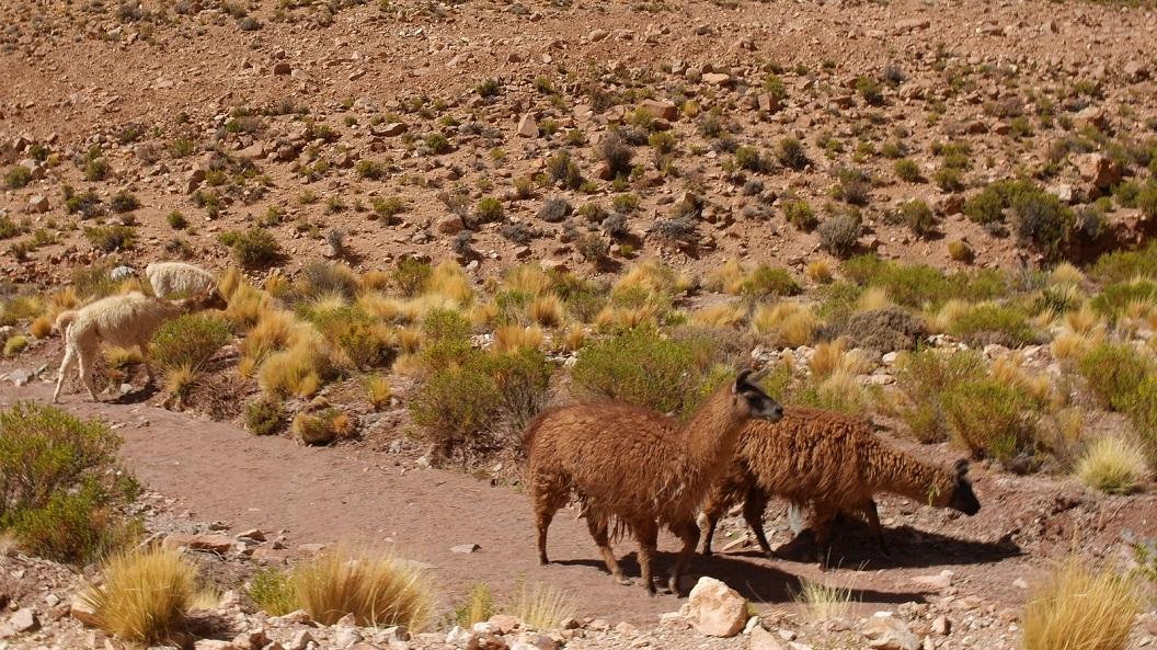 22 lama's in open veld