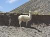 Lama op de uitkijk