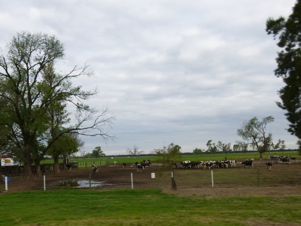 05 het platteland inmiddels vertrouwd beeld, zwartbonte koeien