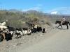 herder te paard met zijn kudde